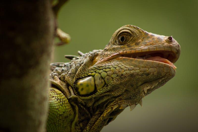 Zielona iguana, Belize fotografia stock
