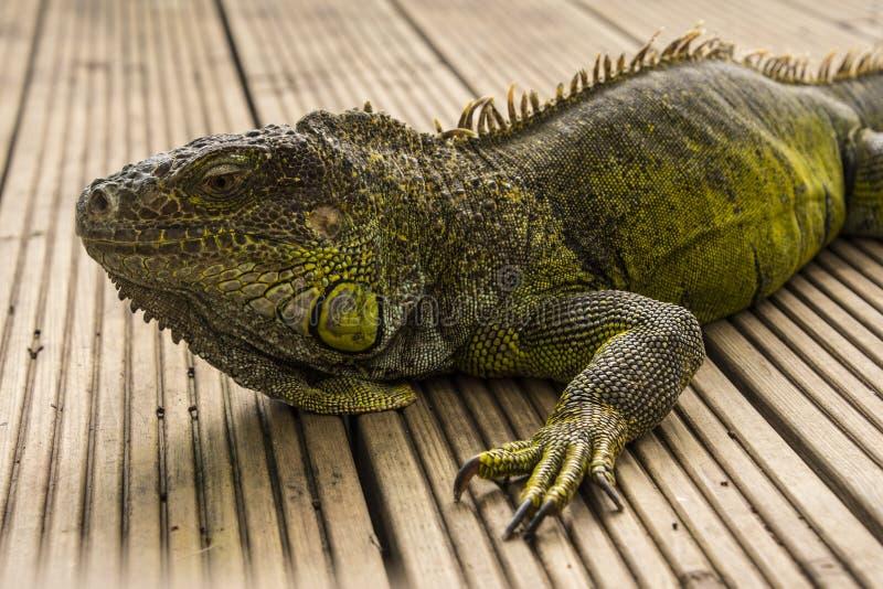 Zielona iguana lub Pospolita iguana/Jesteśmy Środkowy i Ameryka Południowa gatunki iguana miejscowy zdjęcie royalty free
