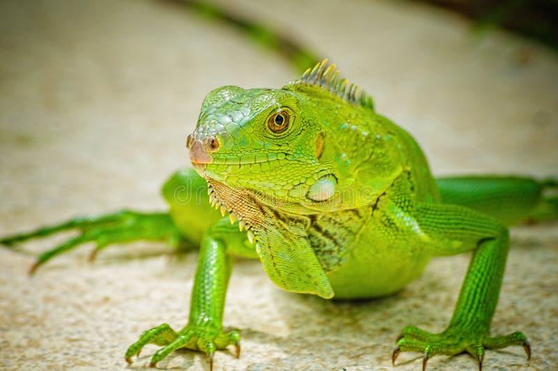 Zielona iguana wygrzewa się w słońcu zdjęcie royalty free