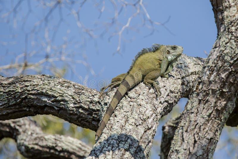 Zielona iguana z Odtwarzającym ogonem na Gęstej gałąź zdjęcie royalty free