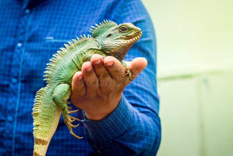 Zielona iguany jaszczurka siedzi na mężczyzna ręce Mężczyzna pokazuje zielonego lizard_ zdjęcia stock