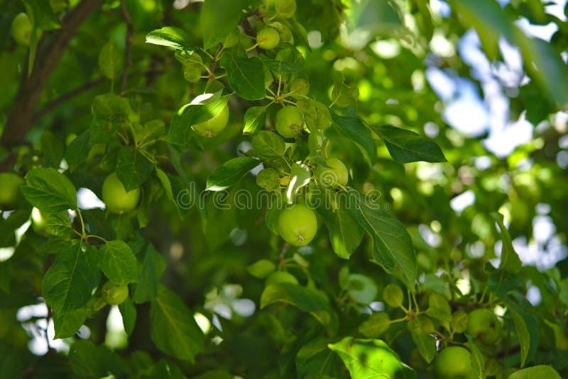 Zielona jabłoń z udziałami jabłek rosnąć zdjęcia stock
