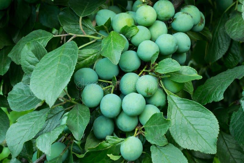 Zielona jagodowa tarnina przy sceną maturation zdjęcie royalty free