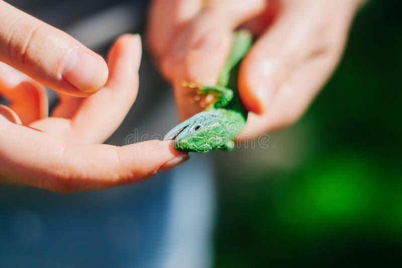 Zielona jaszczurka gryźć palec obrazy stock