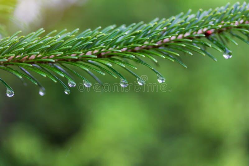 Zielona jedlinowa gałąź z wodą opuszcza na dżdżystym wiosny lub lata ranku zdjęcia stock