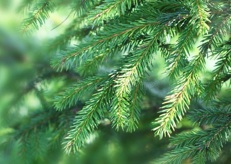 Zielona jodła rozgałęzia się w lesie fotografia stock