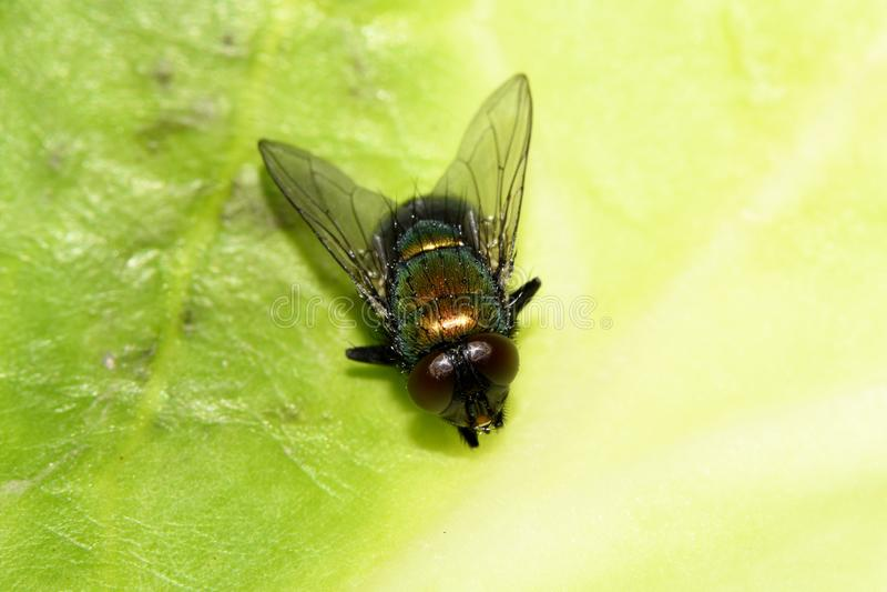 Zielona komarnica na liściu obraz royalty free