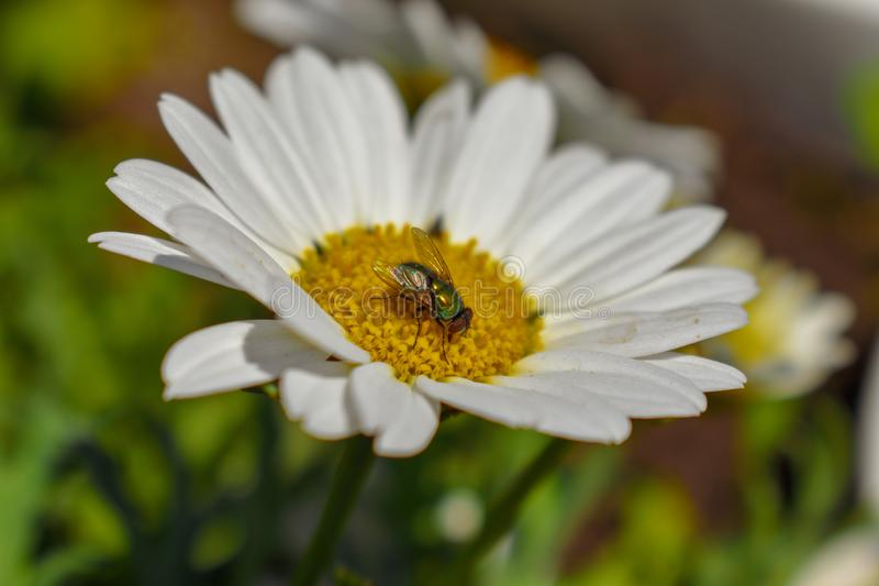 Zielona komarnica odwiedza białej i żółtej stokrotki w grupie wildflowers zdjęcie stock