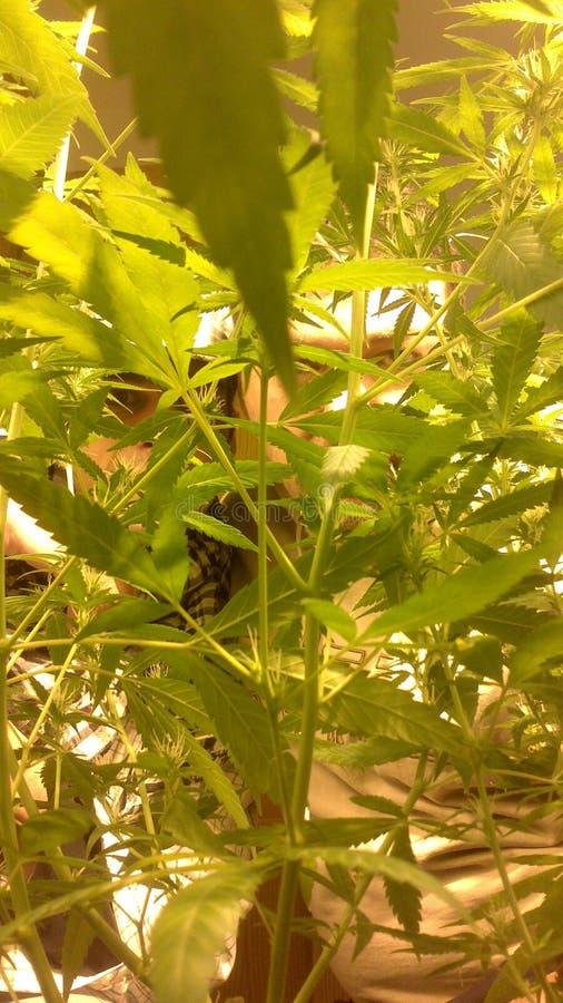 Zielona konopiana roślina z ludźmi kryjówki behind zdjęcia stock