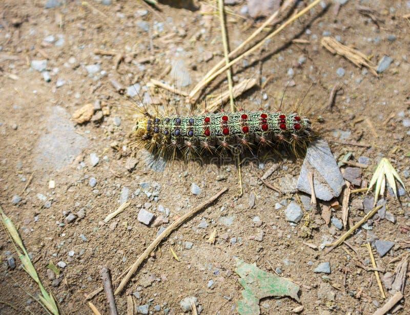 Zielona kosmata gąsienica z czerwonych i błękita kropkami w Altai, Rosja fotografia royalty free