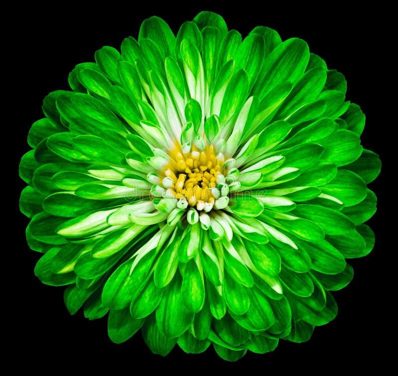 Zielona kwiat chryzantema, ogrodowy kwiat na czarnym białym odosobnionym tle zbliżenie obrazy royalty free