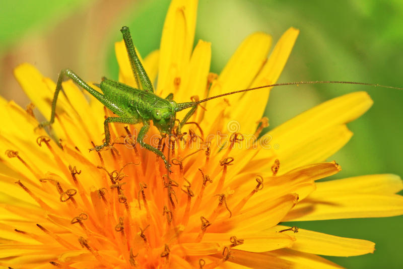 zielona kwiat szarańcza zdjęcie stock