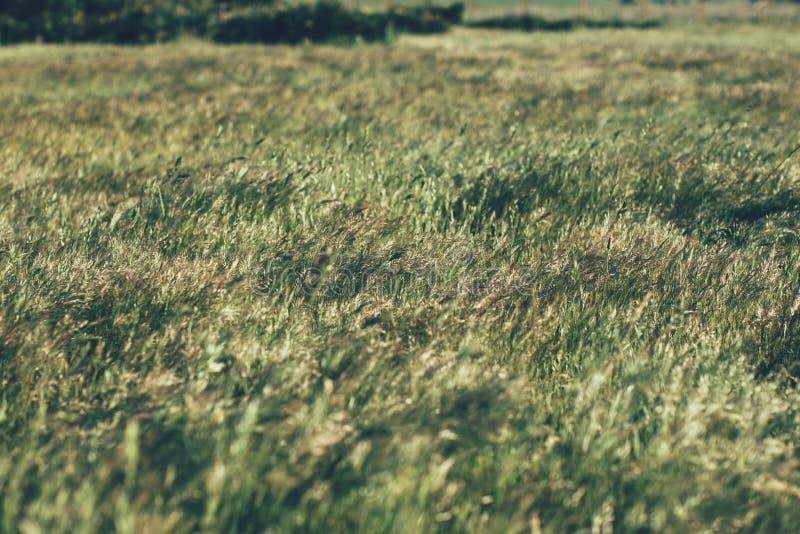 Zielona lato trawy ??ka w ?wietle s?onecznym trawy t?o i tekstura Naturalni i organicznie tła obrazy royalty free