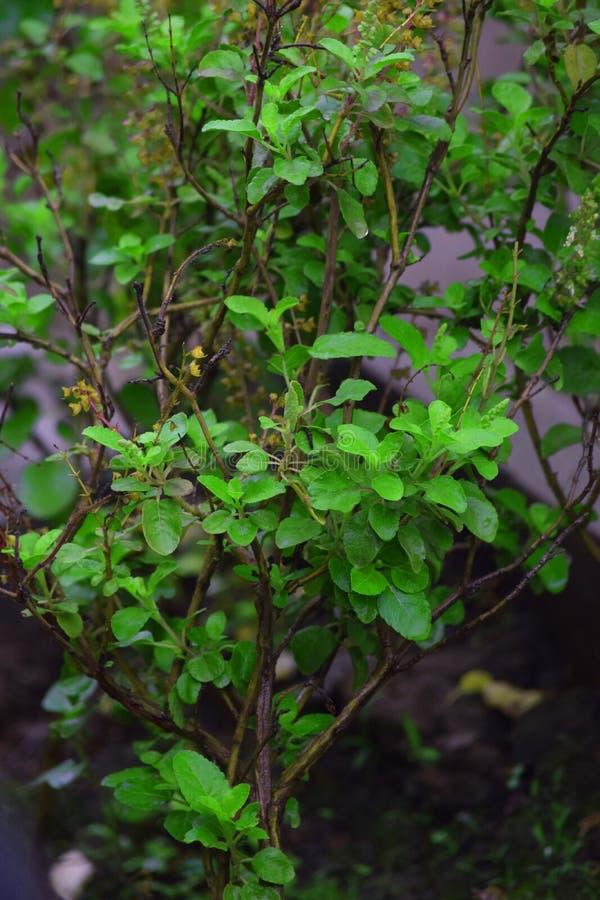 Zielona liść grupa w garnku obrazy stock