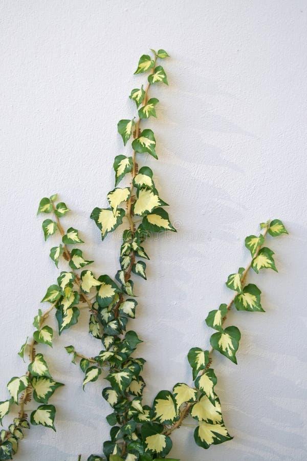 zielona liana zdjęcie stock