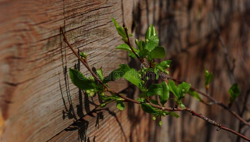 Zielona lina opuszcza od starych drewnianych ścian zdjęcia stock