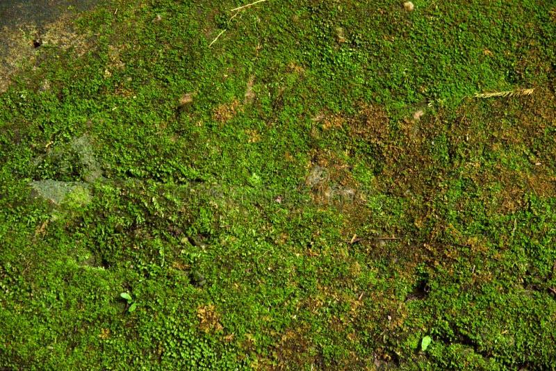 zielona mech tekstura w naturze Thailand fotografia stock