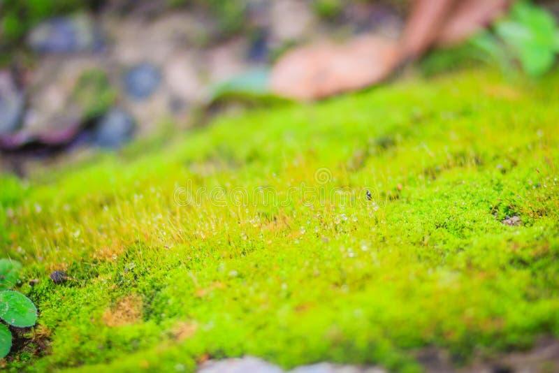 Zielona mechata tło pokrywa szorstcy kamienie w tropikalnych forrest szarość drylują z zielonym mech tekstury tłem Zbliżenie star obraz stock