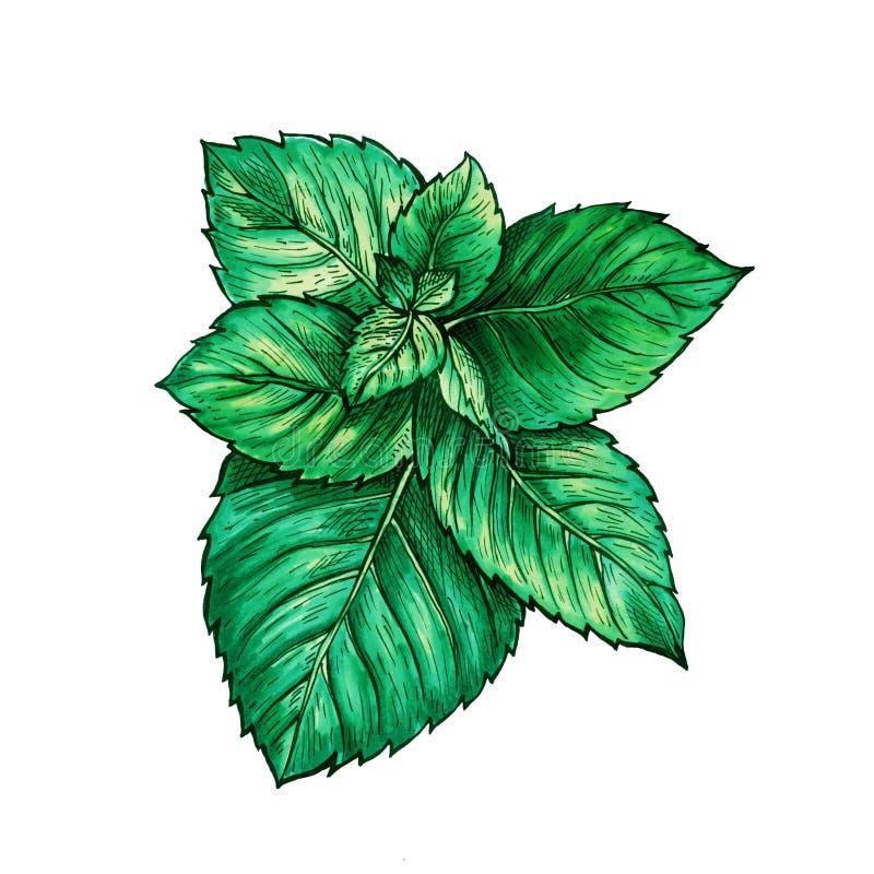 Zielona mennicy gałąź Herbaciany Zielarski temat Odosobniona ręka Malująca Realistyczna Rysunkowa ilustracja miętówka lub Spearmi obrazy stock