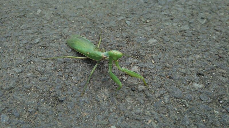 Zielona modlenie modliszka na ulicie Plama lub zamazany tło zdjęcie stock