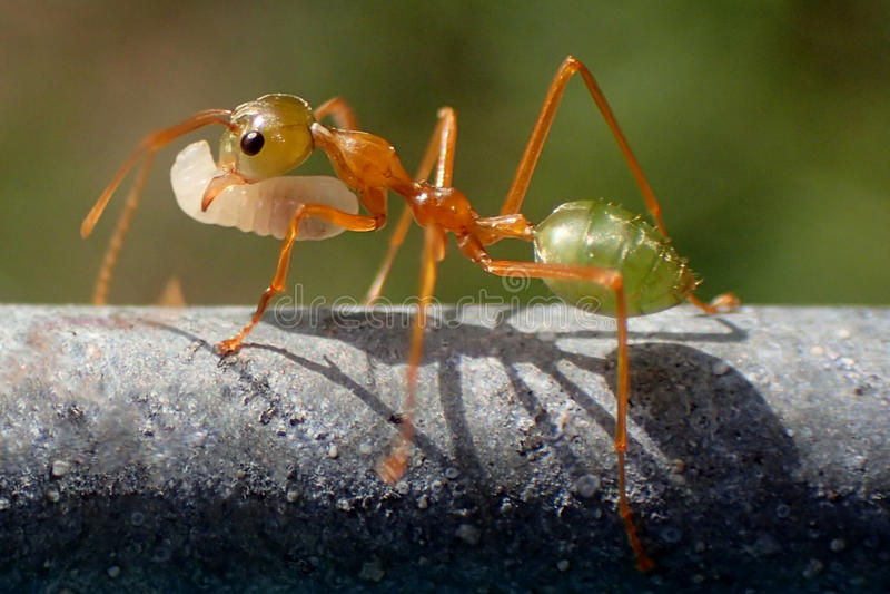 Zielona mrówka zdjęcia royalty free