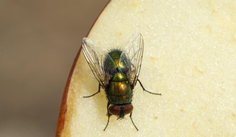 Zielona mucha na jabłku zdjęcie stock