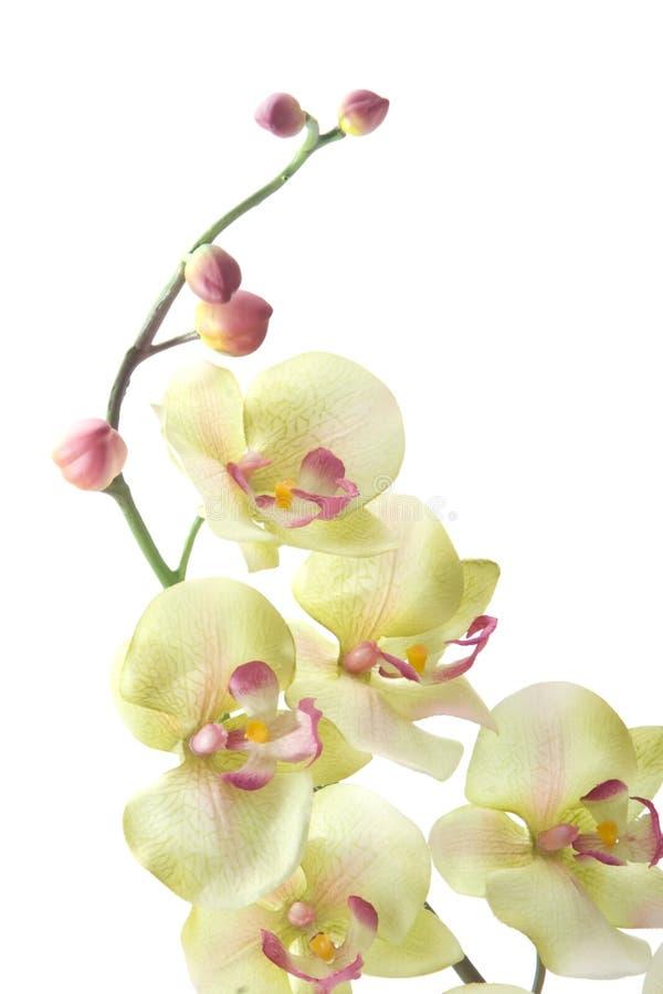 zielona orchidea zdjęcia stock