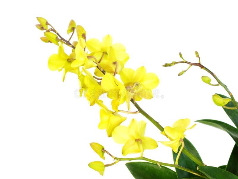 Zielona orchidea kwitnie z gałąź odizolowywającą na białym tle obraz royalty free