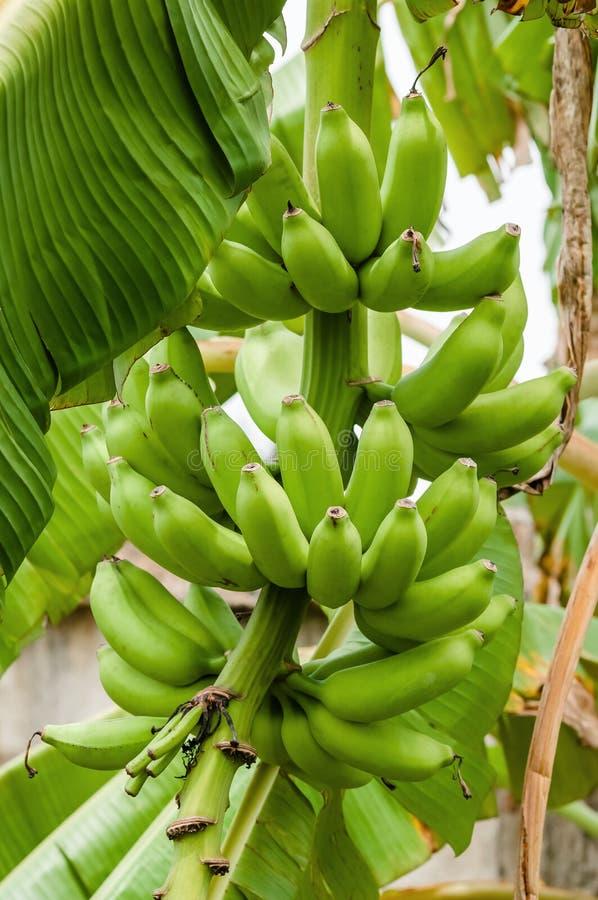 Zielona organicznie bananowa wiązka na drzewnej tropikalnej klimat owoc zdjęcia royalty free