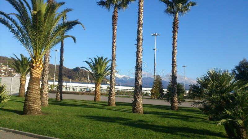 Zielona palma w Sochi obraz royalty free
