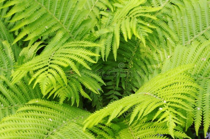 Zielona paproć zdjęcia royalty free