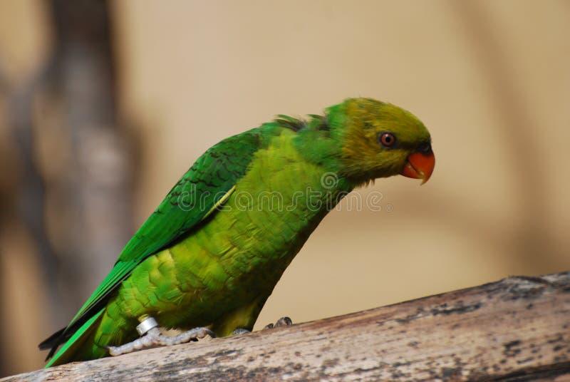 Download Zielona papuga obraz stock. Obraz złożonej z ptak, belfer - 13327909