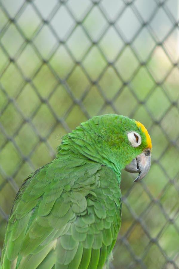 zielona papuga zdjęcia stock