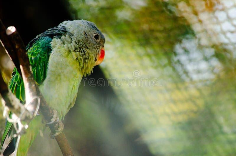 zielona papuga zdjęcie royalty free