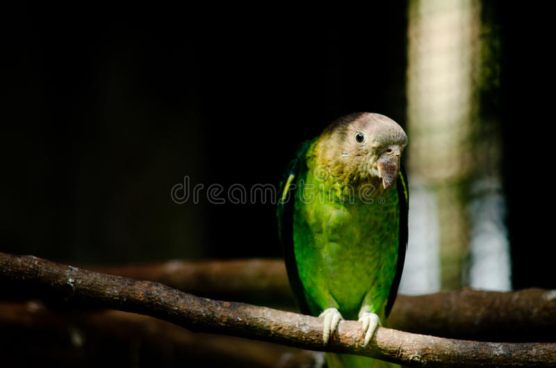 zielona papuga obrazy royalty free