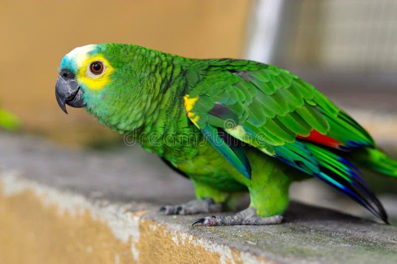 Zielona papuga, koloru żółtego Parakeet, Brotogeris chiriri obsiadanie na kamiennej ścianie, Kuala Lumpur ptaka park, Malezja zdjęcie stock