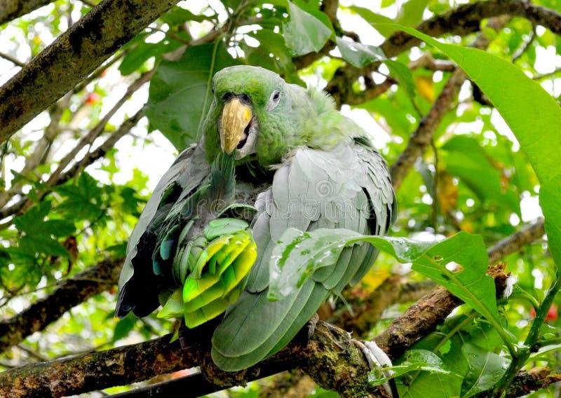 Zielona papuga w dżungli obrazy stock