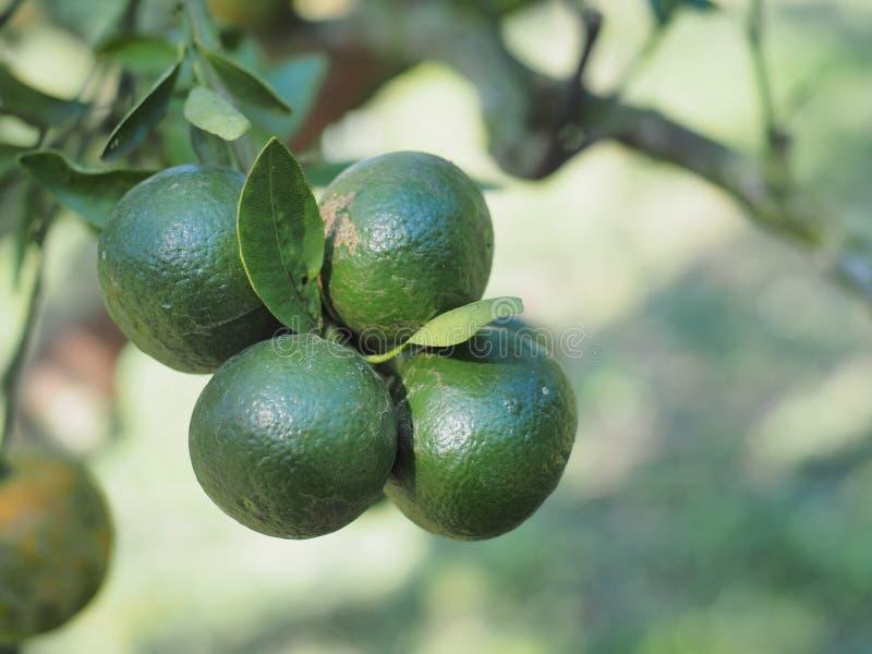 Zielona pomarańcze obraz royalty free