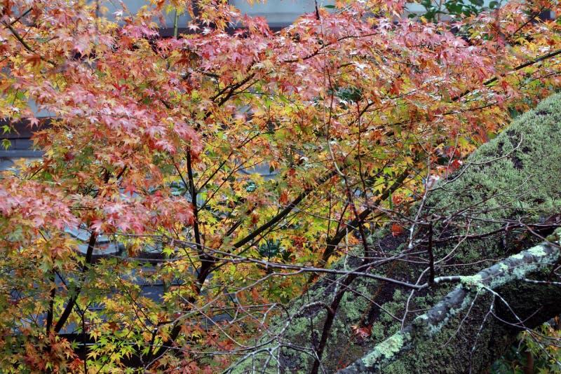 Zielona pomarańcze i czerwień Japoński liść klonowy na drzewie po tym jak deszcz i drzewny bagażnik z liszaju mech zdjęcie royalty free