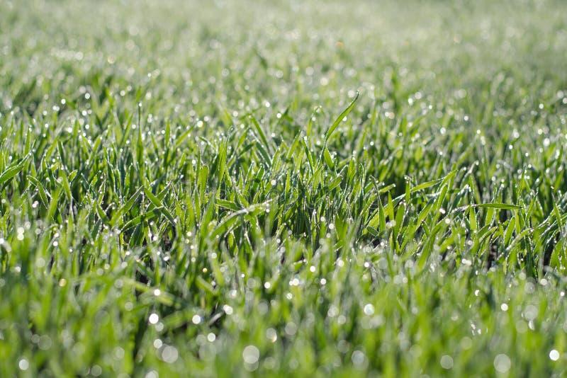 Zielona pszeniczna trawa z wodnymi kroplami Banatka strzela na polu w świetle słonecznym zdjęcia royalty free