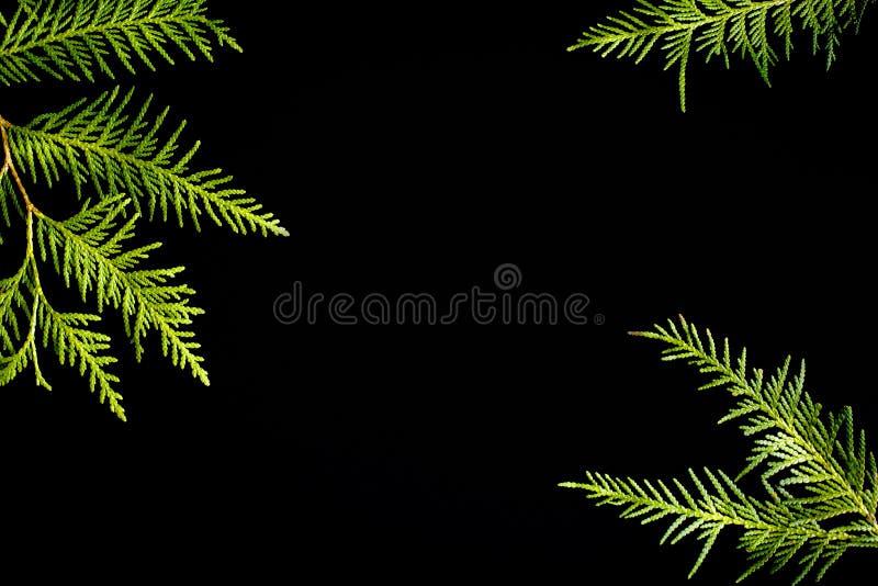 Zielona rama tuj gałąź na czarnym tle Wiecznozielona tekstura, kopii przestrzeń obrazy royalty free