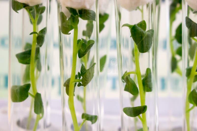 Zielona roślina kiełkuje w szklanej buteleczce, zakończenie zdjęcia royalty free