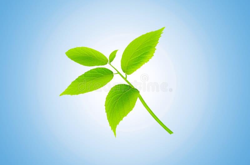 Zielona roślina odizolowywająca na błękitnym tle mięta świeże zdjęcie royalty free