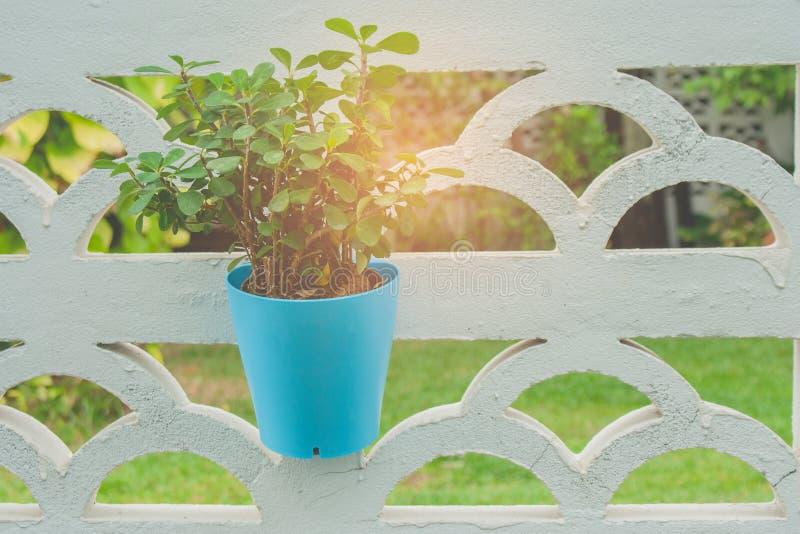 Zielona roślina w błękitnym flowerpot obwieszeniu na biel ścianie z słońce racą w tle dla plenerowej ogrodowej dekoraci zdjęcia stock