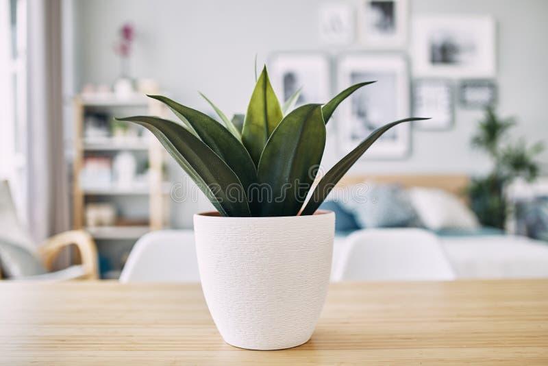 Zielona roślina w białym garnku na stole z bliska zdjęcie royalty free