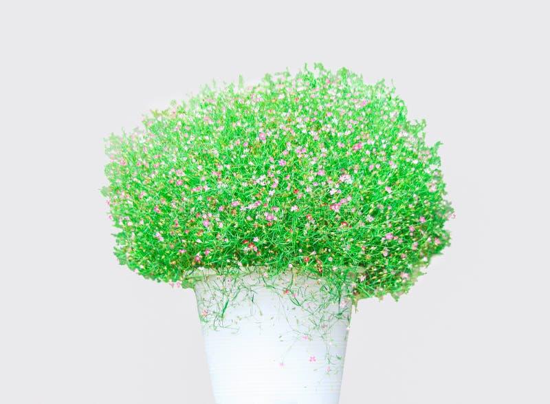 Zielona roślina z małym kwiatem w bielu puszkuje dekorację odizolowywającą na tle z ścinek ścieżką obraz stock