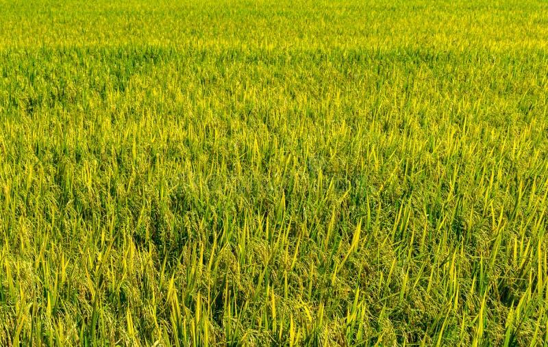 Zielona ryżowa roślina Która opuszcza adra W hodowlanej fabule zdjęcie royalty free