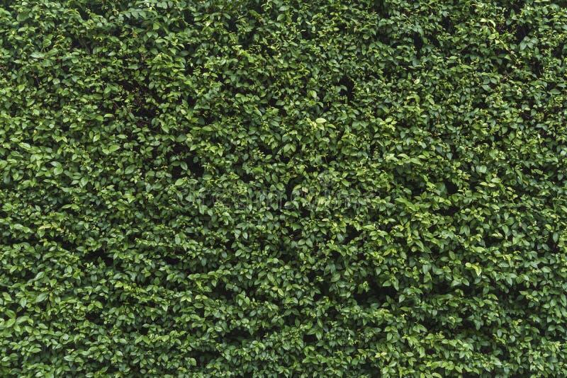 Zielona shrubbery ściana zdjęcia stock