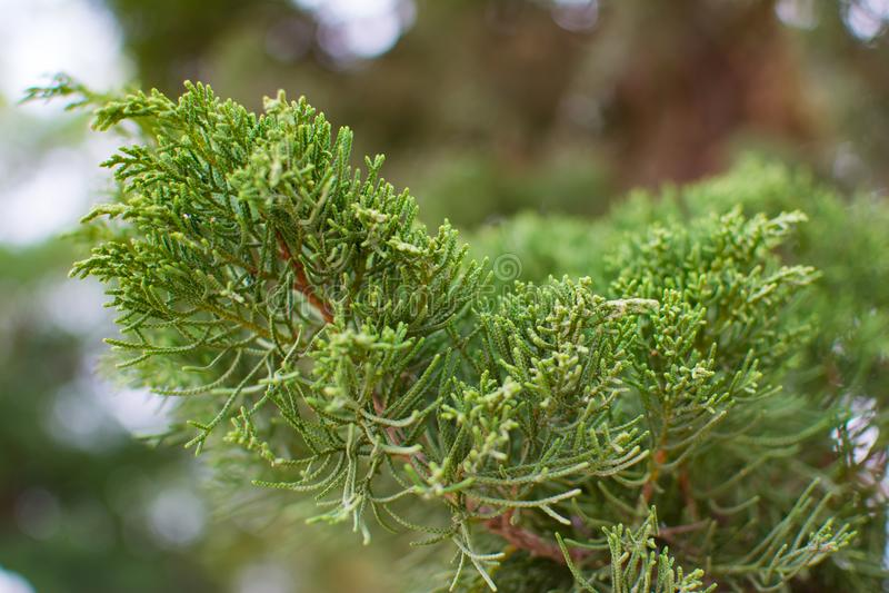 Zielona sosna lub Juniperus w lecie z zamazanym tłem i małym bokeh obraz royalty free
