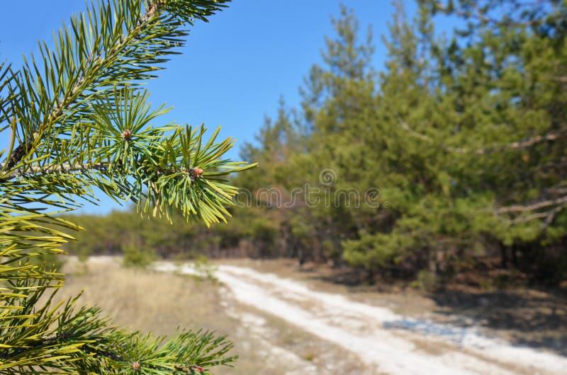 Zielona sosna rozgałęzia się przeciw niebieskiego nieba i sosny lasowi obraz stock